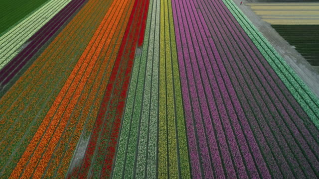 layers of tulips seen from a drone flying overhead, netherlands - tulpe stock-videos und b-roll-filmmaterial