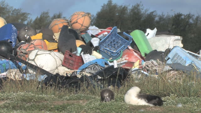 laysan albatross adult and chick (phoebastria immutabilis) in front of mounds of rubbish. conservation story - rubbish. midway island. pacific - pacific islands stock videos and b-roll footage