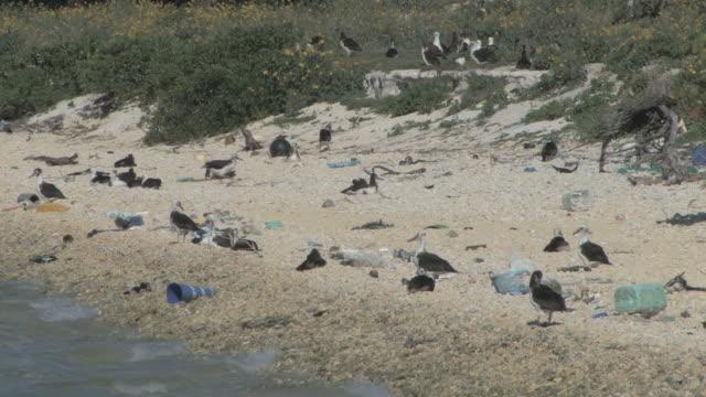 laysan albatross chicks (phoebastria immutabilis) on beach near rubbish. conservation story - rubbish. midway island. pacific - chicken bird stock-videos und b-roll-filmmaterial