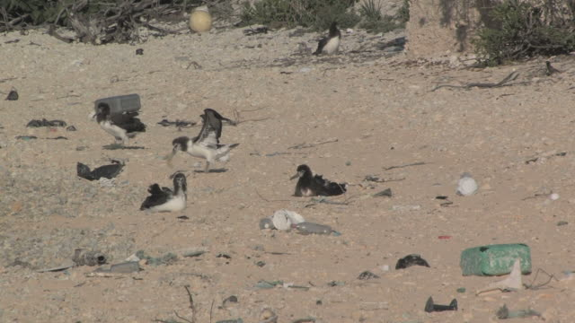 laysan albatross chicks (phoebastria immutabilis) on beach near rubbish, one tries to eat plastic. conservation story - rubbish. midway island. pacific - sea bird stock videos and b-roll footage