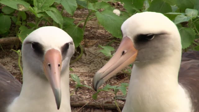 Laysan Albatross closeup of heads, Midway, Hawaii