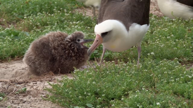 Laysan Albatross feeding chick, Midway, Hawaii