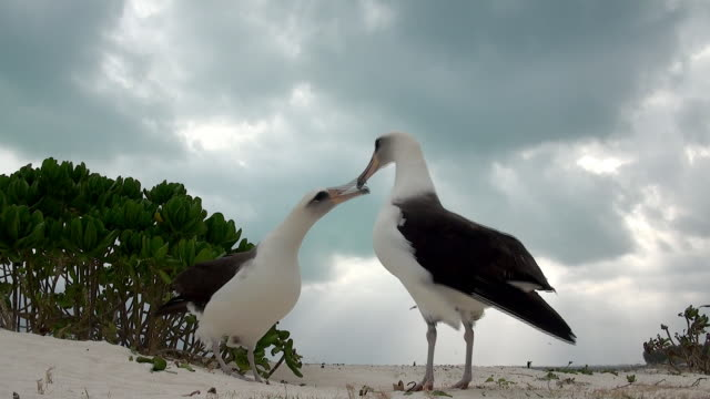 laysan albatross in courtship display, midway, hawaii - audio available stock videos & royalty-free footage