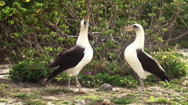laysan albatross in courtship display, midway, hawaii - albatross stock videos & royalty-free footage
