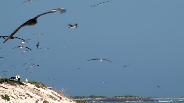 Laysan Albatross, many in the air, Midway, Hawaii