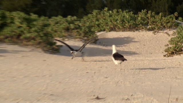 laysan albatross, takes off from beach, midway, hawaii - albatross stock videos & royalty-free footage