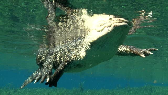 vidéos et rushes de a lazy alligator paddles at the surface of the water. - membre partie du corps