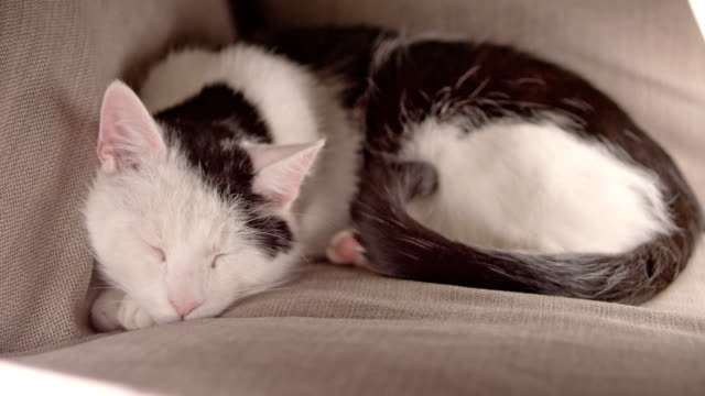 lazy cat sleeping - grey colour stock videos & royalty-free footage