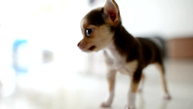 lazy chihuahua dog relaxing - chihuahua dog stock videos and b-roll footage