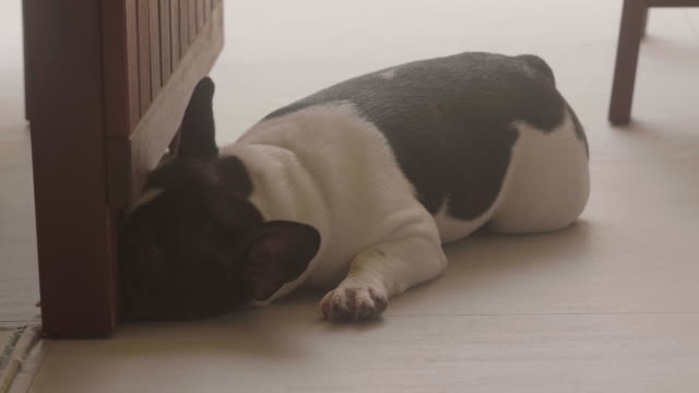lazy dog at home - overweight dog stock videos & royalty-free footage