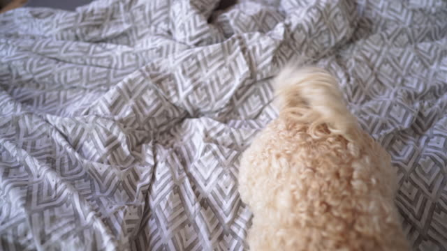 lazy dog in the morning lying on bed - tail stock videos & royalty-free footage