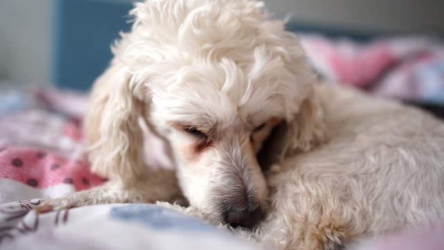lazy in the morning - dog blinking stock videos & royalty-free footage