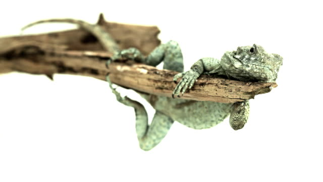lazy pensive lizard resting on a branch - sideways glance stock videos & royalty-free footage
