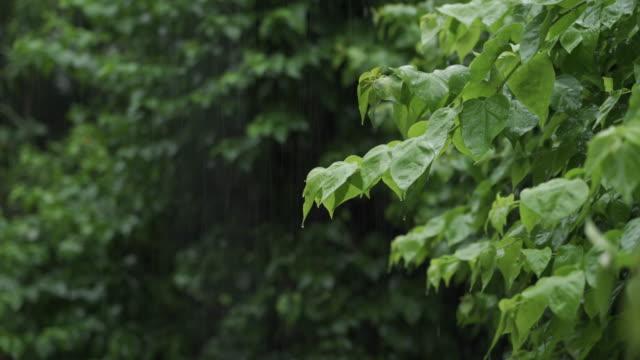vídeos de stock e filmes b-roll de leaf bush branch in rainy day - lockdown