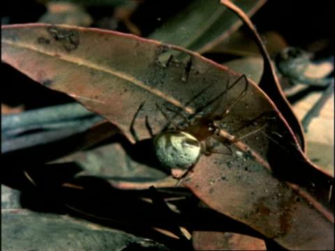 leaf curling spider, spinning thread on leaf, australia - arachnid stock videos & royalty-free footage