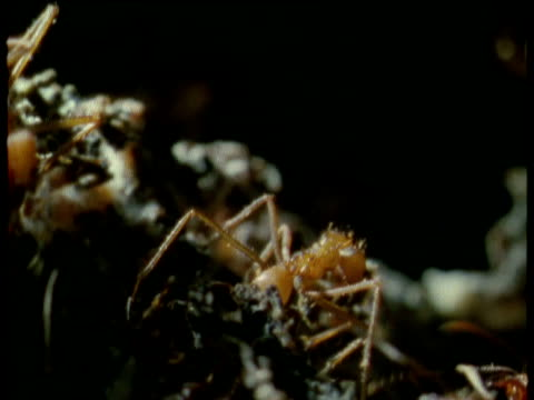 leaf cutter ant carries nest fungus deep into nest, trinidad - fungus stock videos and b-roll footage