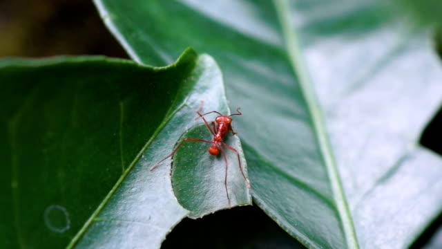 vidéos et rushes de leaf cutter ant cuts off a bit of leaf, costa rica. - un seul animal