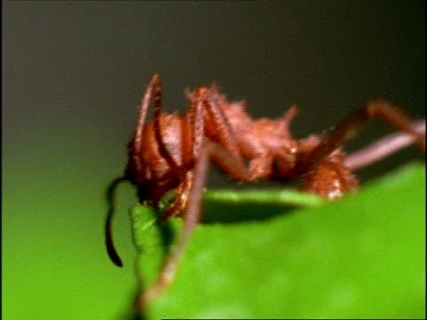 vídeos de stock e filmes b-roll de bcu leaf cutter ant (atta) cutting through leaf, costa rica - tosquiar