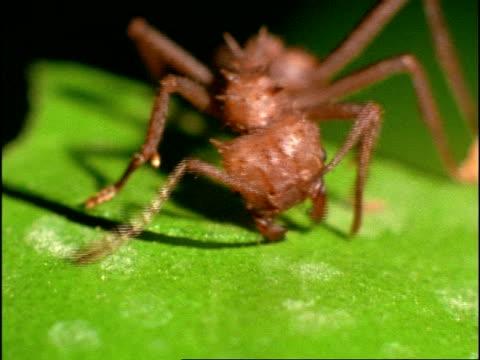 bcu leaf cutter ant (atta) cutting through leaf, costa rica - cut video transition stock videos and b-roll footage