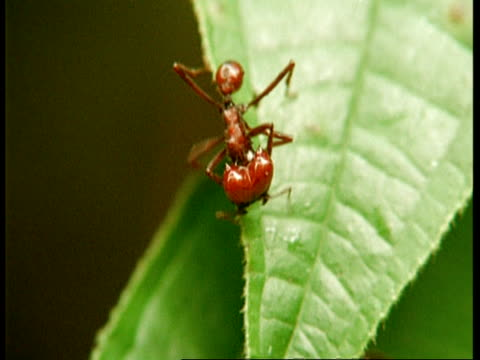 mcu leaf cutter ant on leaf, south america - one animal stock videos & royalty-free footage