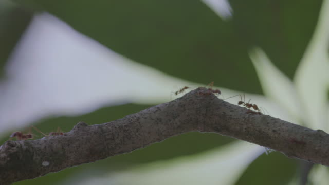 ms leaf cutter ant walking on branch and carrying pieces of leaf / gamboa, panama - leaf cutter ant stock videos & royalty-free footage