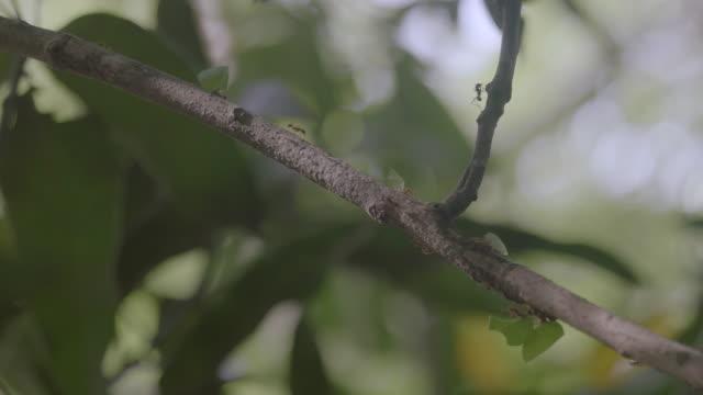 vídeos de stock e filmes b-roll de ms leaf cutter ant walking on branch and carrying pieces of leaf / gamboa, panama - saúva da mata