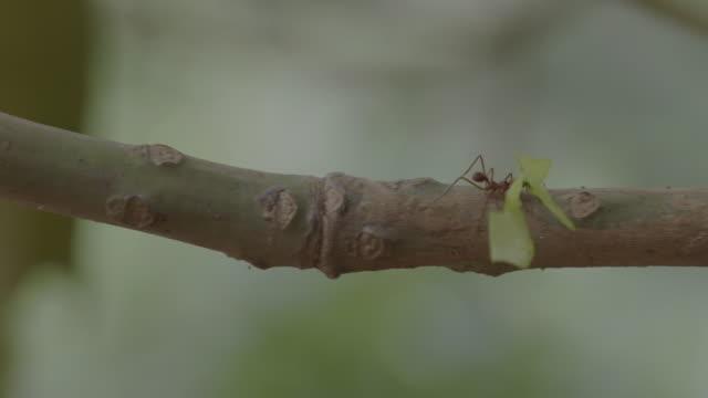 vídeos de stock e filmes b-roll de ms pan leaf cutter ant walking on branch and carrying pieces of leaf / gamboa, panama - saúva da mata