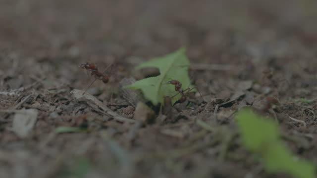 vídeos de stock e filmes b-roll de ms leaf cutter ant walking on landscape and carrying pieces of leaf / gamboa, panama - saúva da mata