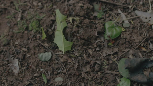 ms leaf cutter ant walking on landscape and carrying pieces of leaf / gamboa, panama - leaf cutter ant stock videos & royalty-free footage