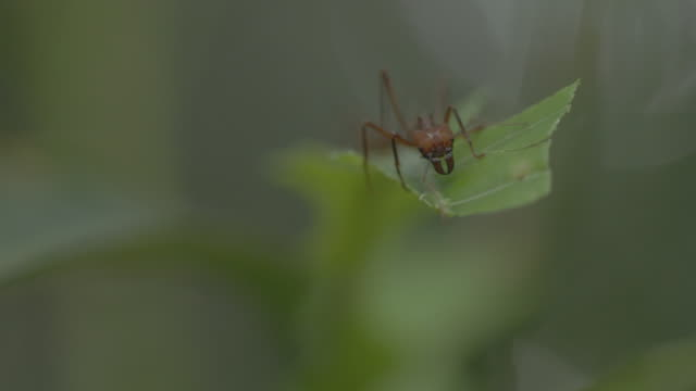ms leaf cutter ant walking on stem and cutting pieces of leaf / gamboa, panama - leaf cutter ant stock videos and b-roll footage