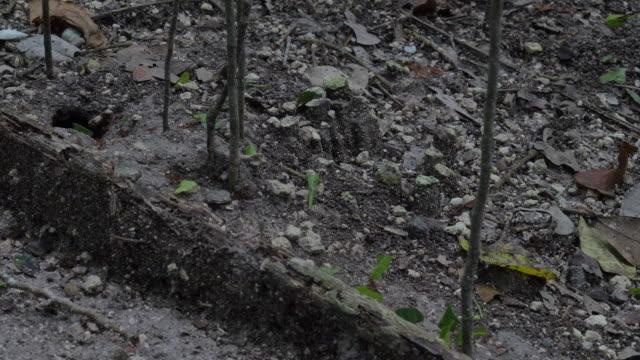 vídeos de stock e filmes b-roll de leaf cutter ants at work - saúva da mata
