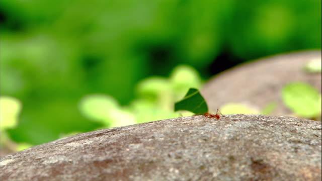 vídeos de stock e filmes b-roll de leaf cutter ants carry leaf pieces in single file. - saúva da mata