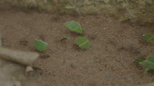 vídeos de stock e filmes b-roll de cu pan leaf cutter ants carrying cut leaves on forest floor / panamá province, panama - saúva da mata