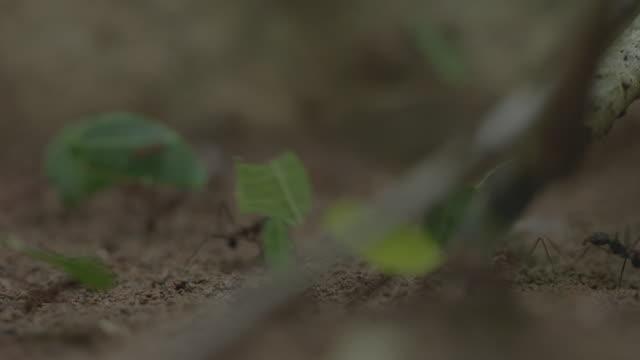vídeos de stock e filmes b-roll de cu leaf cutter ants carrying cut leaves on forest floor / panamá province, panama - saúva da mata