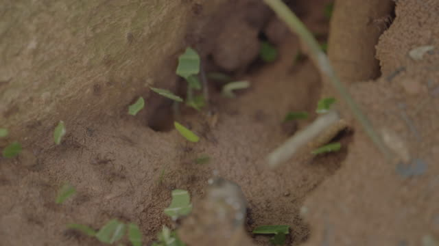 cu t/l leaf cutter ants carrying cut leaves on forest floor / panamá province, panama - leaf cutter ant stock videos & royalty-free footage