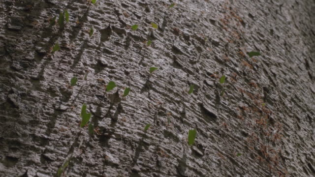 CU T/L Leaf cutter ants carrying cut leaves over tree trunk/ Barro Colorado Island, Panama