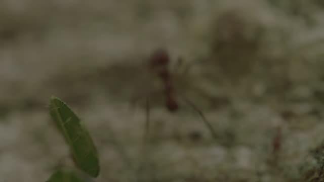 vídeos de stock e filmes b-roll de cu pan leaf cutter ants carrying cut leaves over tree trunk/ panamá province, panama - saúva da mata