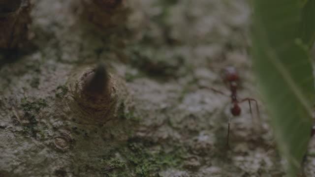 vídeos de stock e filmes b-roll de cu leaf cutter ants carrying cut leaves over tree trunk/ panamá province, panama - saúva da mata