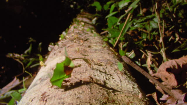 leaf cutter ants carrying leaves along fallen tree trunk in rain forest / manu, peru - ameise stock-videos und b-roll-filmmaterial
