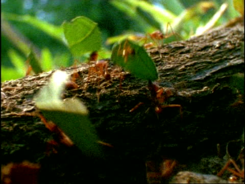 CU Leaf Cutter Ants (Atta) carrying pieces of leaf over tree trunk, Costa Rica
