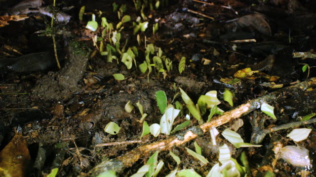 vídeos de stock e filmes b-roll de leaf cutter ants (atta sp.) carrying pieces of leaves to their nest at night in the rainforest, ecuador - saúva da mata