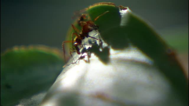 vídeos de stock e filmes b-roll de leaf cutter ants crawl over leaves. - saúva da mata