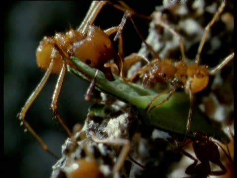 leaf cutter ants hold leaf in nest's fungus garden, trinidad - fungus stock videos & royalty-free footage