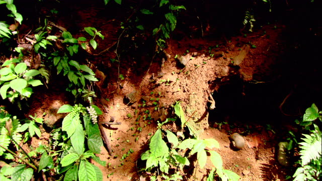 leaf cutter ants march across the forest floor in costa rica. - costa rica stock videos & royalty-free footage
