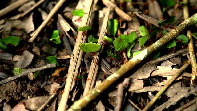 vídeos de stock e filmes b-roll de hd de folhas de formigas marchar na floresta tropical - saúva da mata