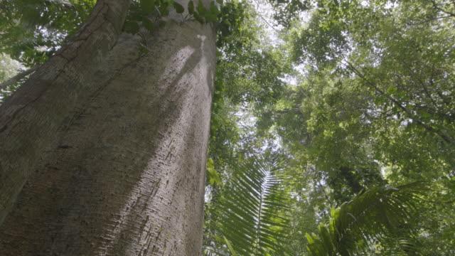vídeos de stock e filmes b-roll de ws td leaf cutter ants moving over tree trunk/ panamá province, panama - saúva da mata