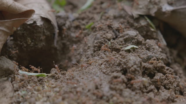 cu pan leaf cutter ants outside of ant nest in rainforest / panamá province, panama - leaf cutter ant stock videos and b-roll footage