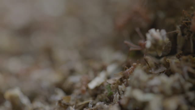cu ts leaf cutter ants outside of ant nest in rainforest / panamá province, panama - carrying stock videos & royalty-free footage