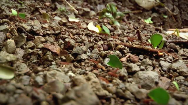 leaf cutter ameisen - variable schärfentiefe stock-videos und b-roll-filmmaterial