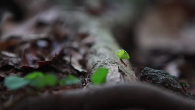 tight shot leaf cutter ants - leaf cutter ant stock videos and b-roll footage